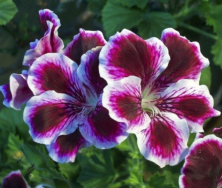 Angel Pelargonium