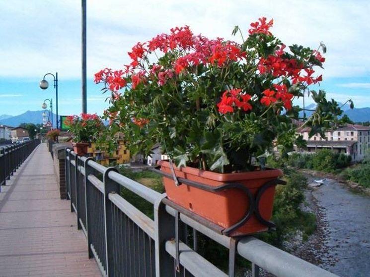 fiori di geranio rossi