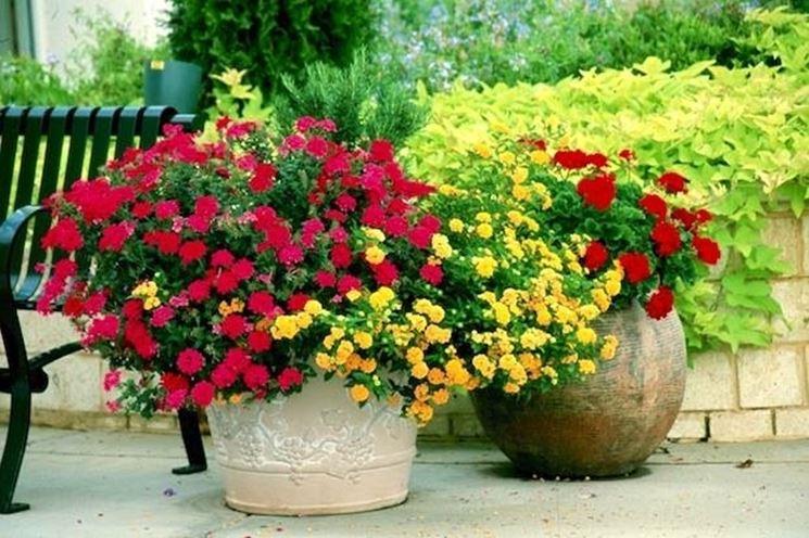 gerani colorati in vaso