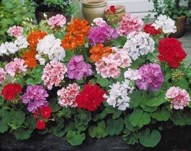 Gerani sani, belli e fioriti