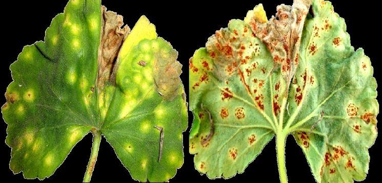 Come liberarsi dai parassiti intestinali ricetta for Ruggine delle rose