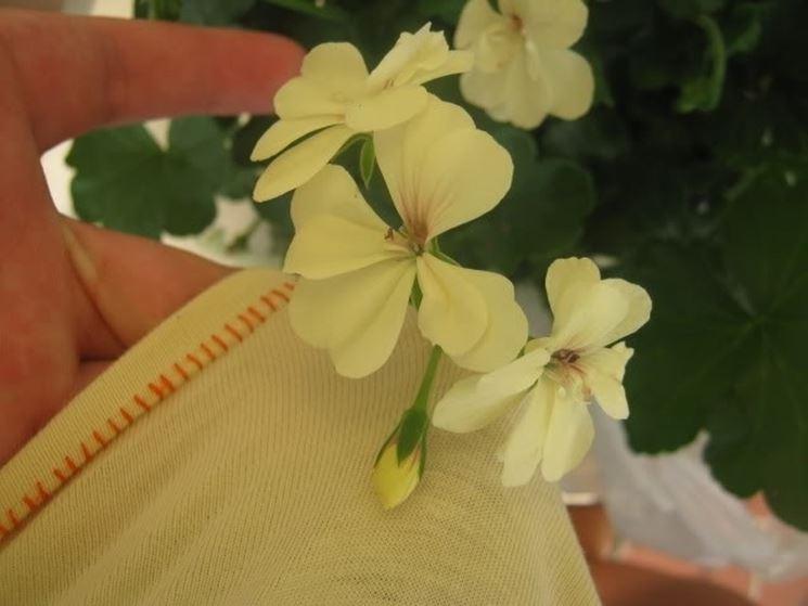 Geranio giallo