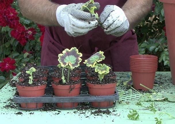 potatura gerani geranio come potare i gerani On riproduzione gerani