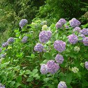 Ortensie fiorite