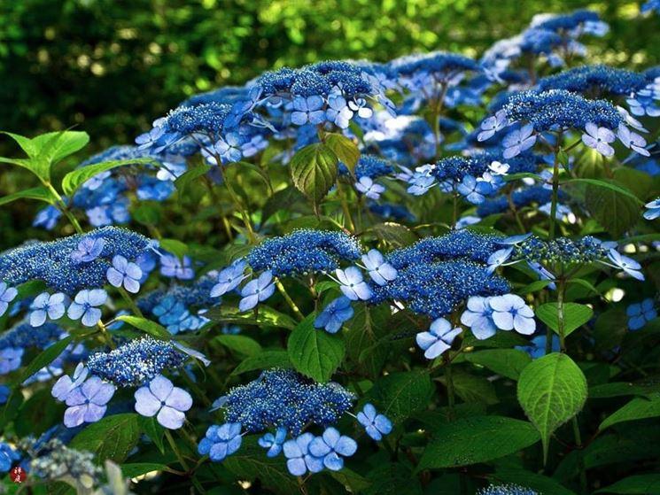 Hydrangea macrophylla blu