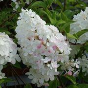 I caratteristici fiori della hydrangea paniculata