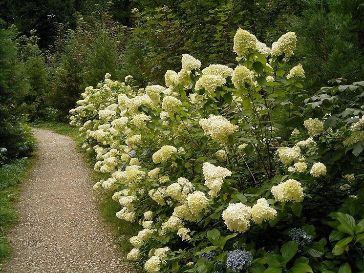 Una bellissima fioritura della hydrangea paniculata