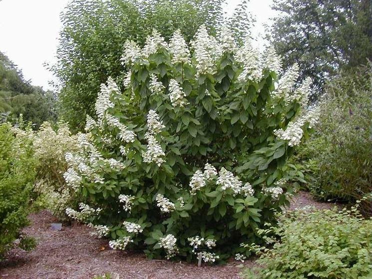 Cespuglio di hydrangea paniculata
