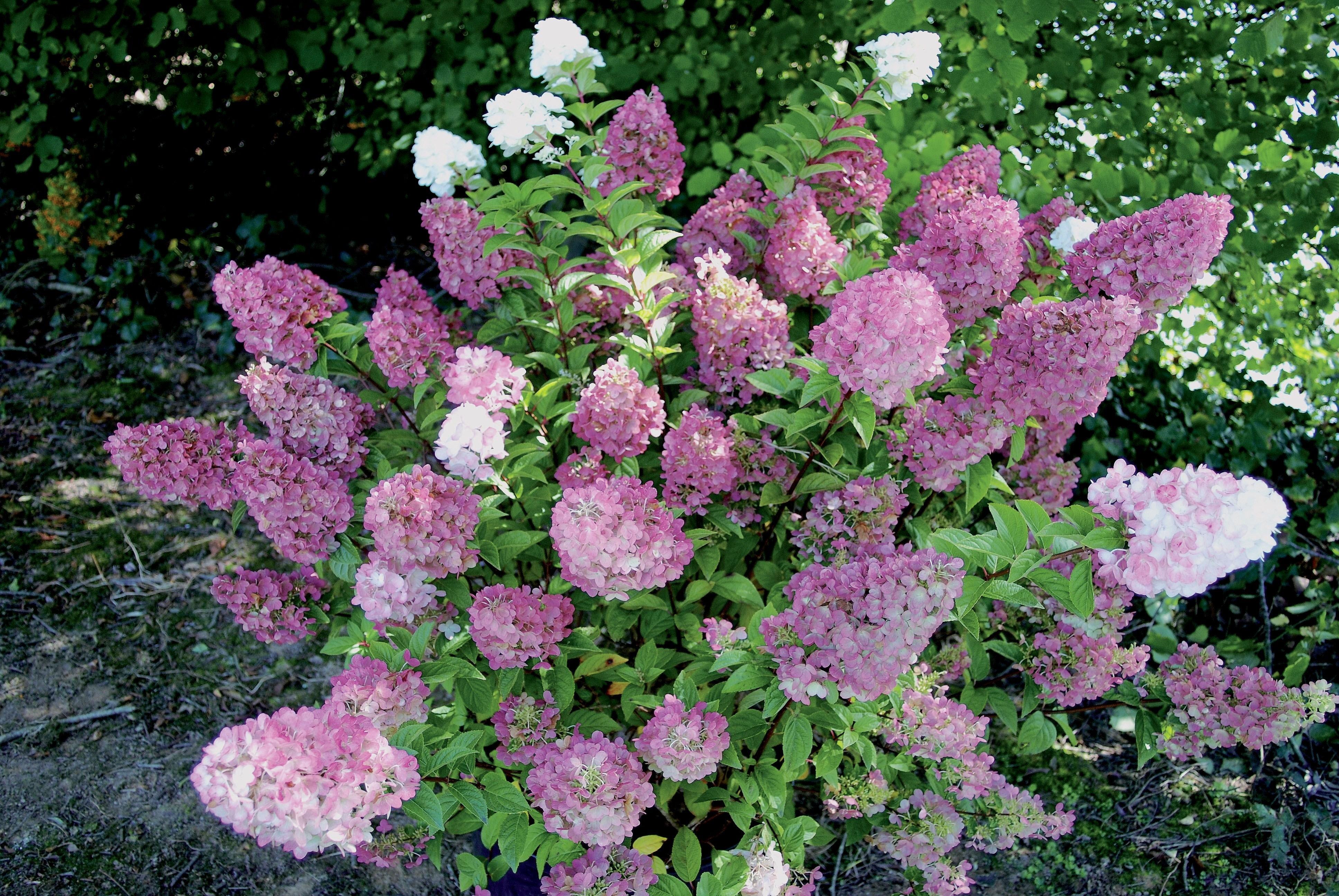Hydrangea paniculata ortensia caratteristiche dell for Colore ortensia