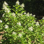 ortensia paniculata
