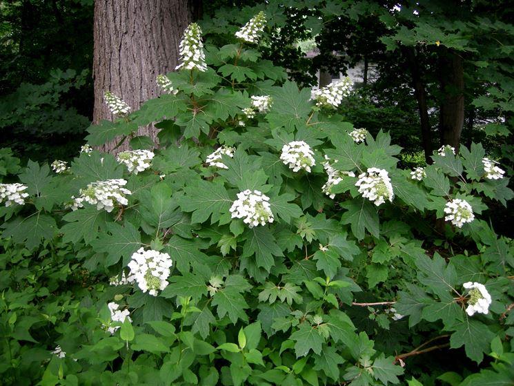Cespuglio di Hydrangea quercifolia