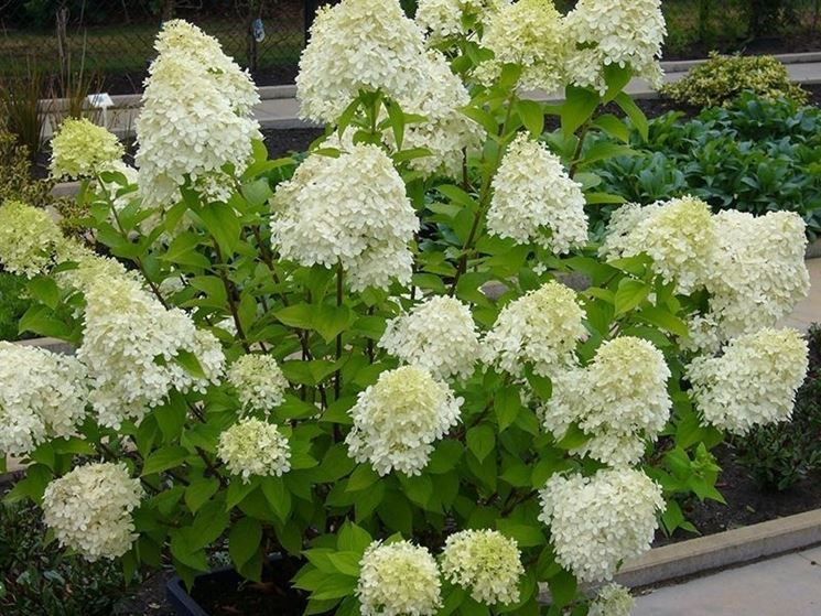 Ortensia: Hydrangea Paniculata