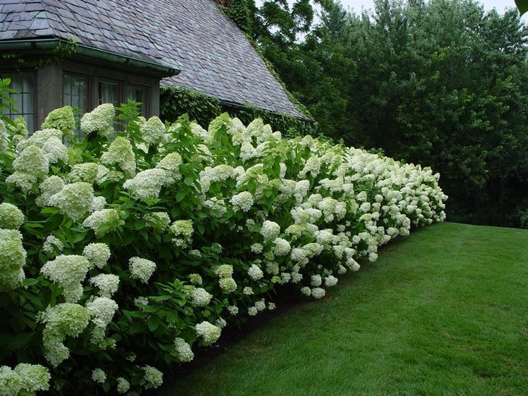 Giardino di ortensie bianche