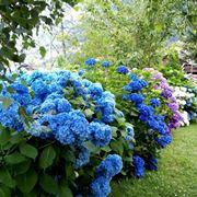 Cespugli caratteristici di ortensie blu - Ortensia blu ...