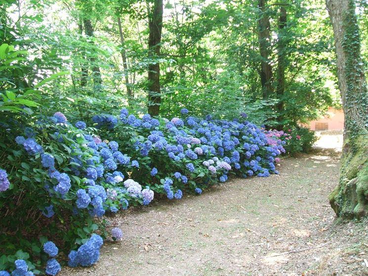Ortensie blu nel loro habitat migliore, all'ombra di grandi piante.