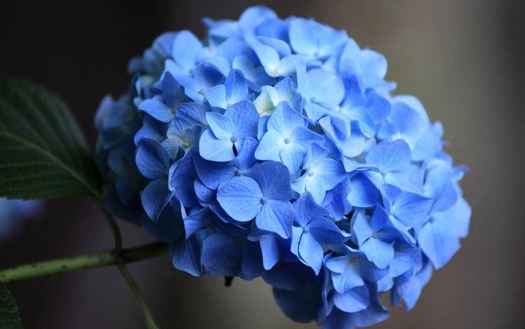 Dettaglio dell'ortensia blu