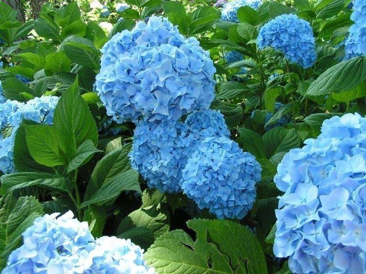 Crescita rigogliosa di una ortensia blu