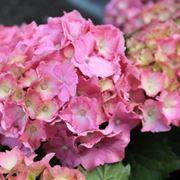 Ortensia (hydrangea macrophylla) dai fiori rosa