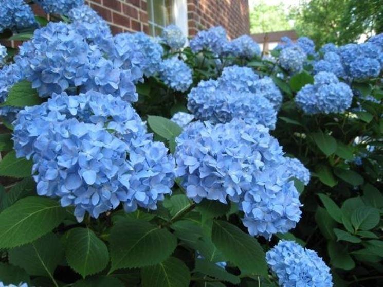 Ortensia dai fiori blu