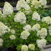 Cespuglio in fiore di Ortensia paniculata
