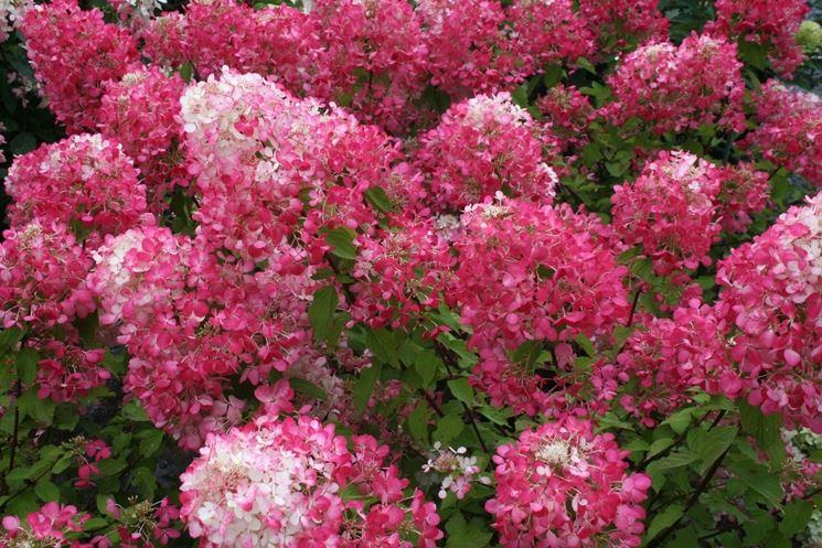 Infiorescenze rosa di Ortensia paniculata