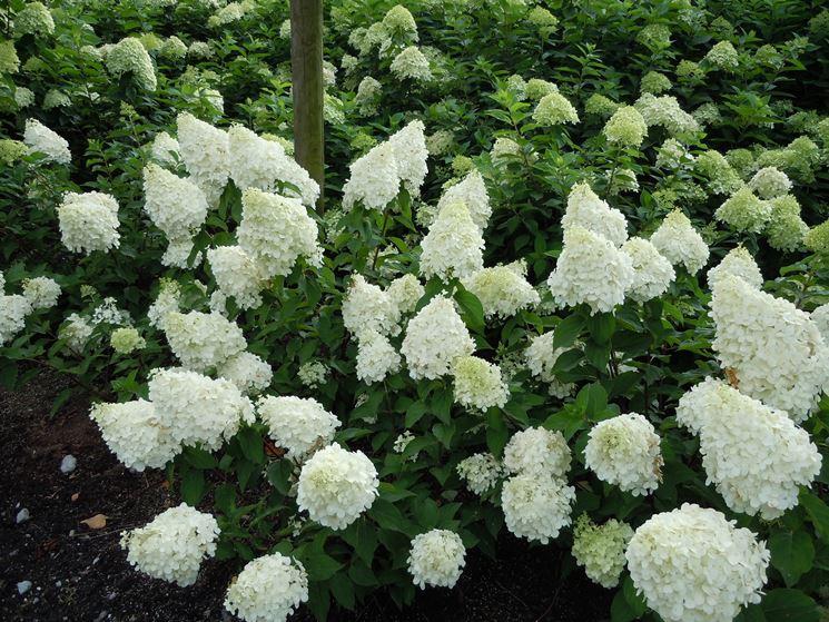 Fiori bianchi di Ortensia paniculata