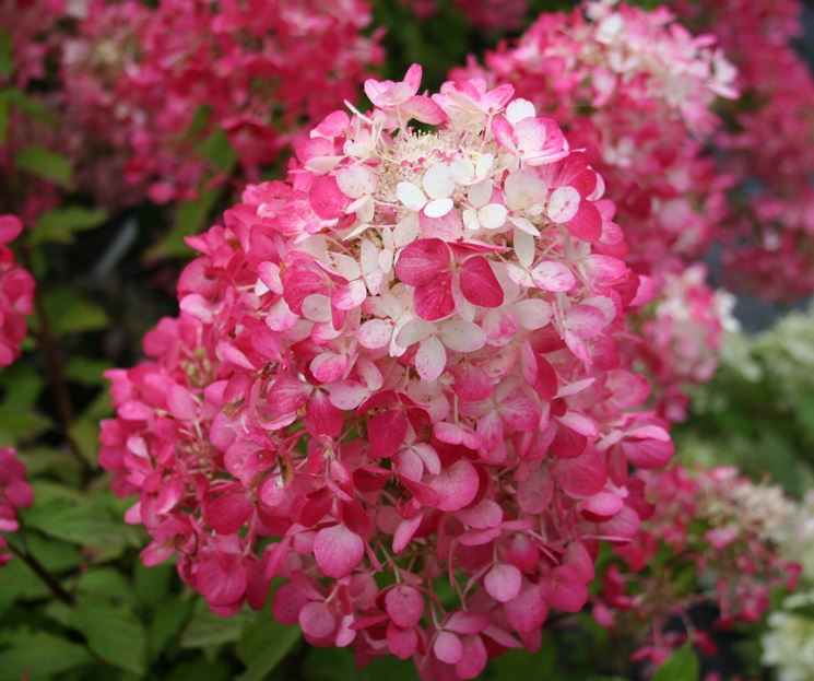 Infiorescenza rosa di Ortensia paniculata