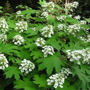 Un cespuglio di ortensia quercifolia in fiore