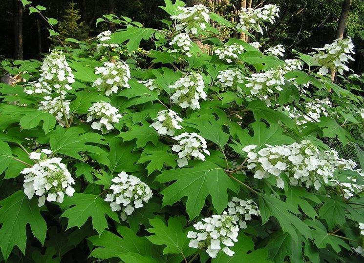 Un cespuglio di <strong>ortensia quercifolia</strong> in fiore