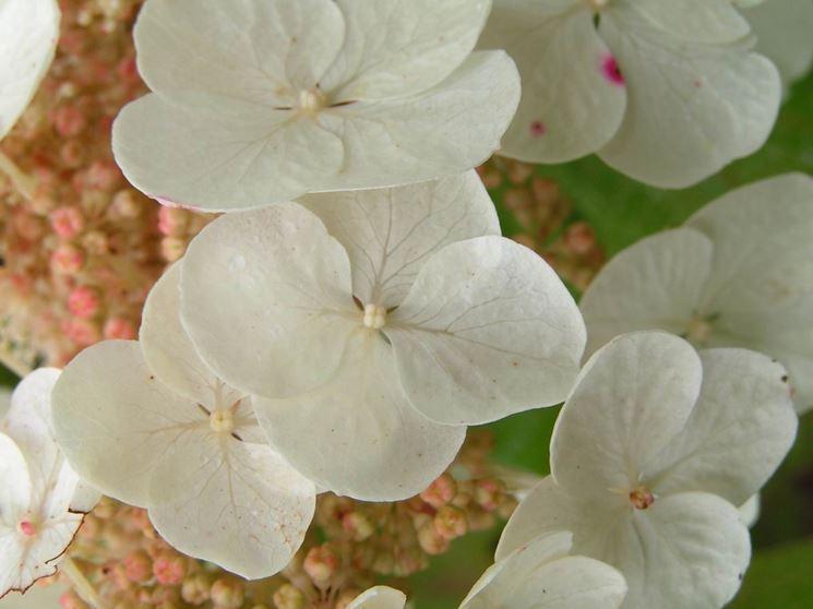 Il fiore bianco dell'ortensia quercifolia Snow Queen