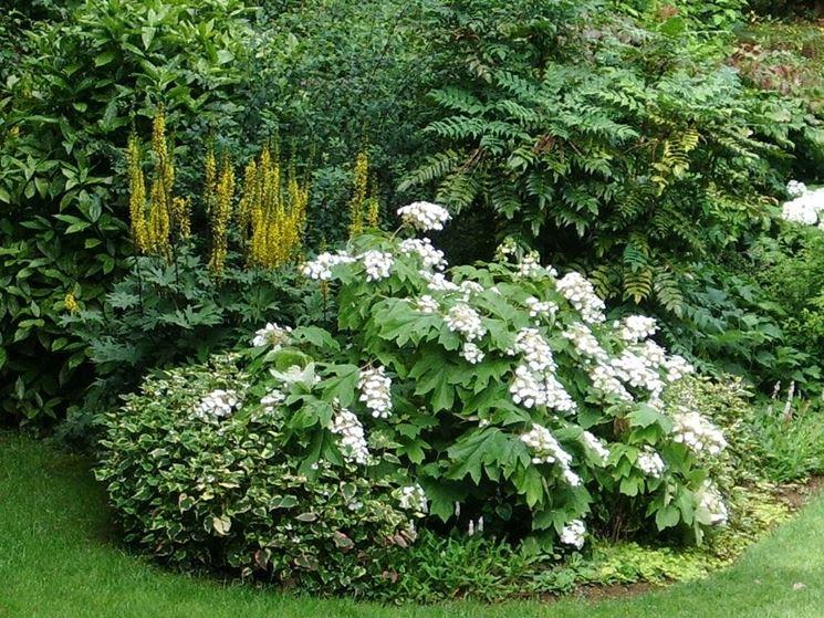 L'ortensia quercifolia in piena fioritura