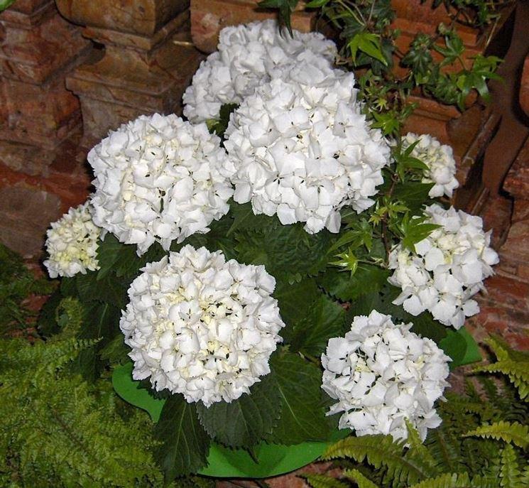Ortensia in vaso