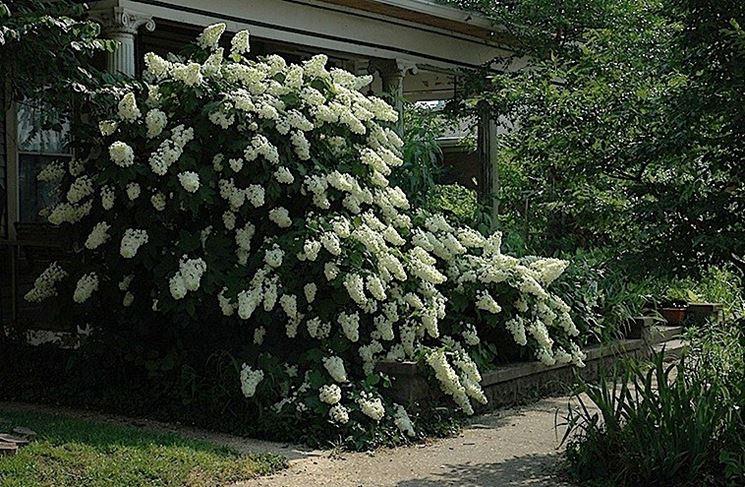 Ortensia rampicante in giardino