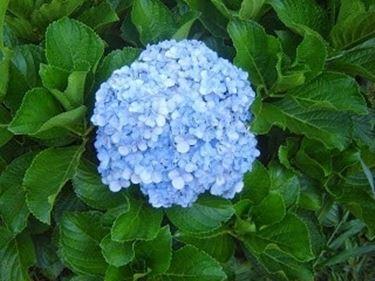 Ortensia dai fiori celesti
