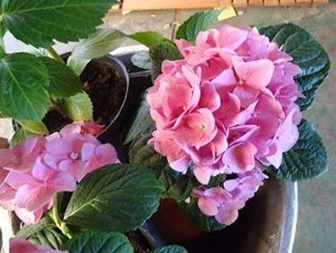 Ortensia dai fiori rosa