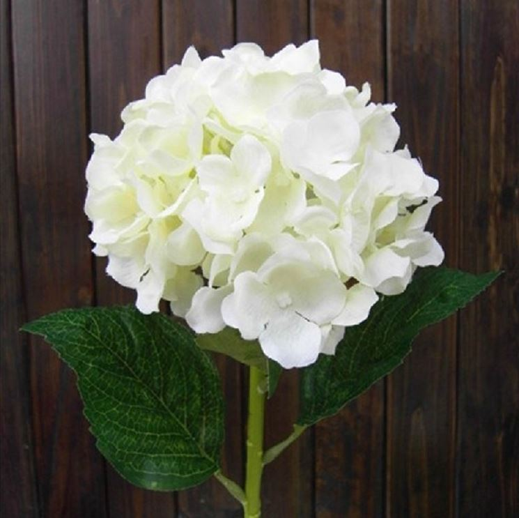 Fiori Ortensie Bianche : Ortensie bianche ortensia colore bianco