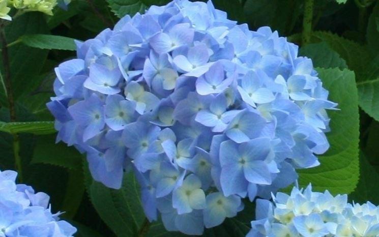 Ortensie Blu : Ortensie blu ortensia caratteristiche delle