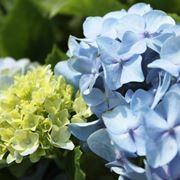 ortensie blu
