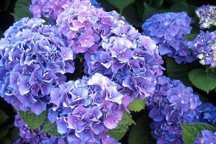Ortensie Blu : Ortensie significato ortensia il dei fiori