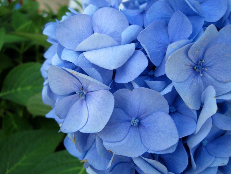 Particolare del fiore dell'ortensia