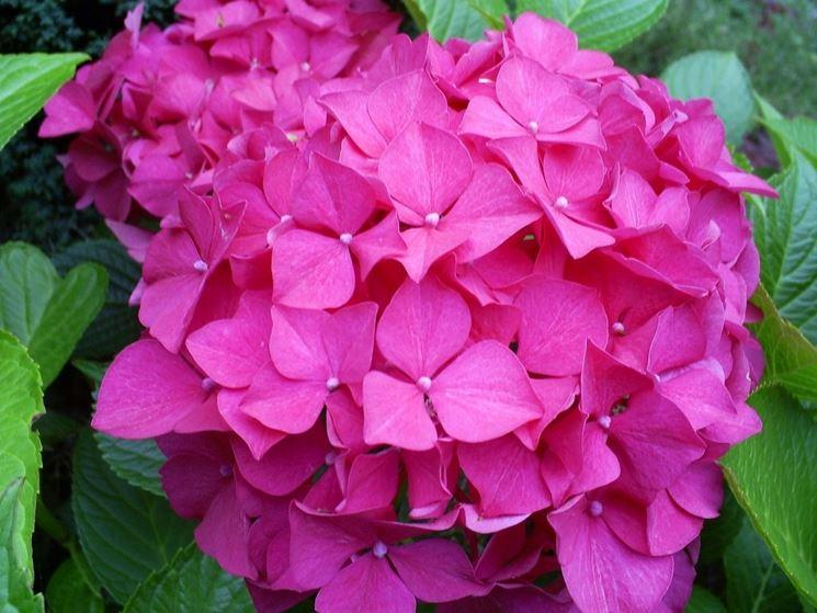 Esemplare di ortensia rosa