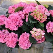 ortensia fiore