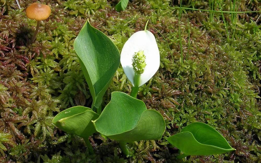 Calla palustris piante acquatiche for Calla pianta