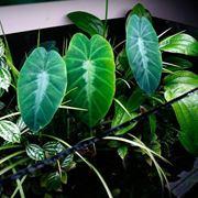 pianta colocasia