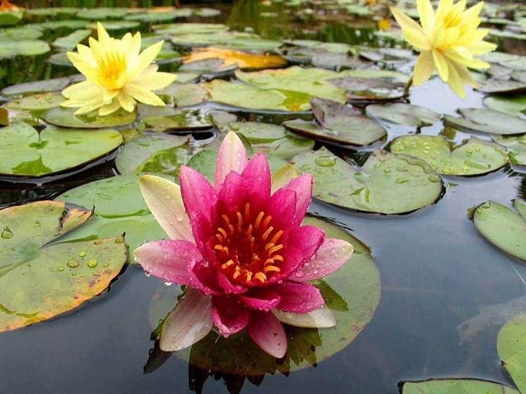 Fiore di loto in un laghetto
