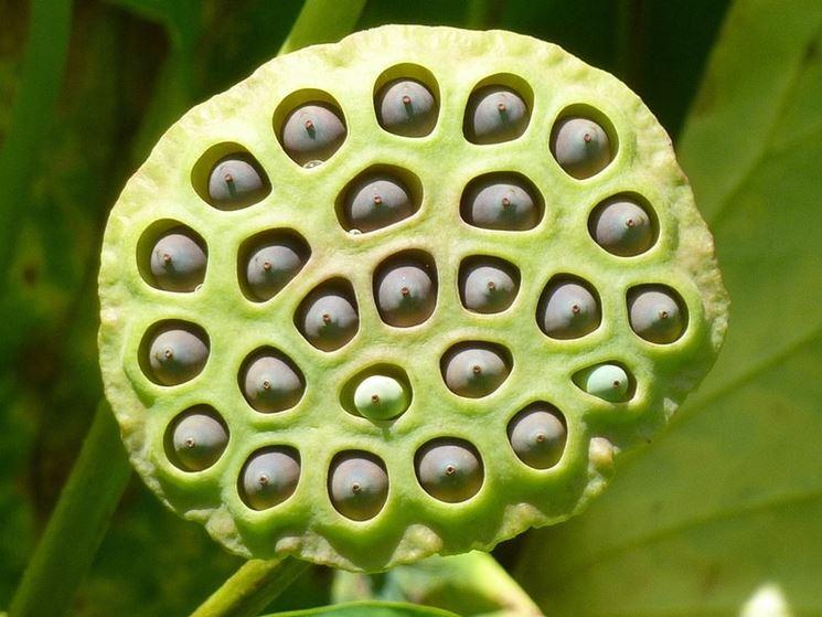 Semi del fiore di loto
