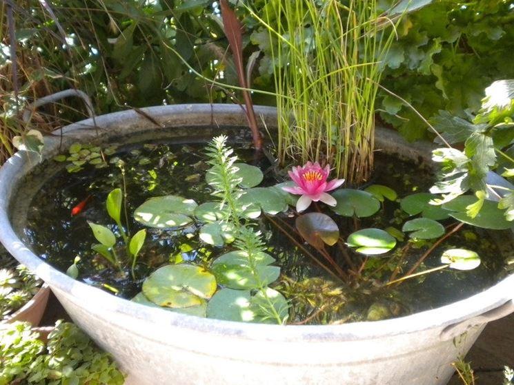 Fiore di loto piante acquatiche come curare il fiore for Piante acquatiche laghetto giardino
