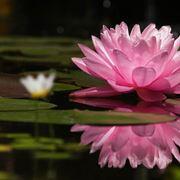fiore di loto coltivazione