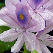 Fiore di giacinto d'acqua
