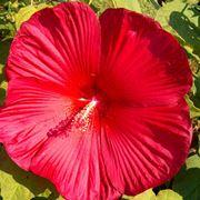 Fiore di Hibiscus moscheutos